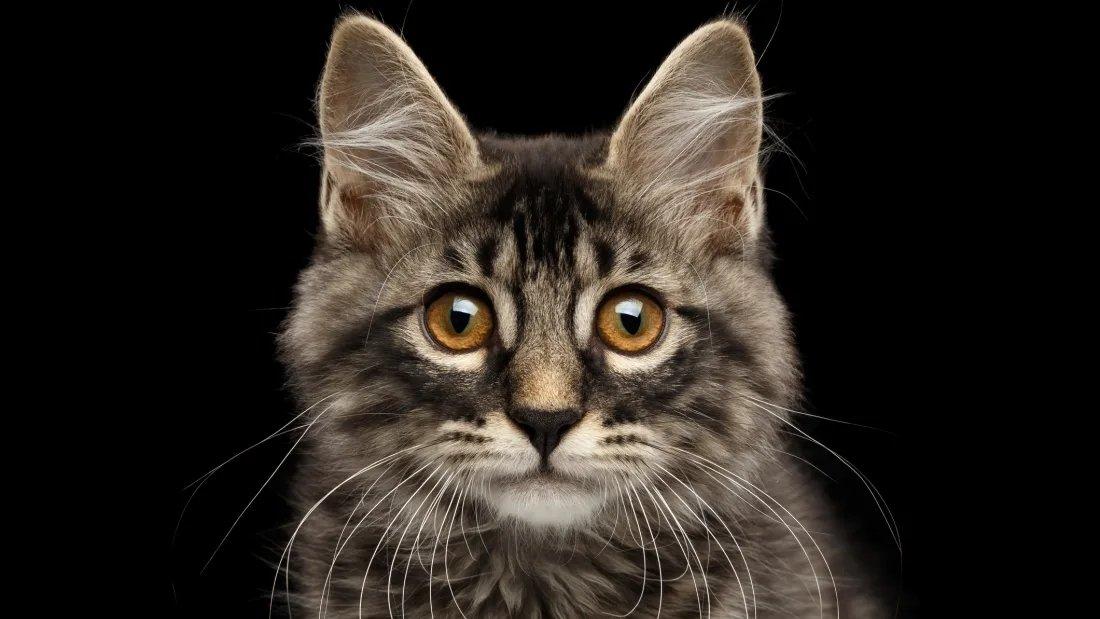 gato e vacina