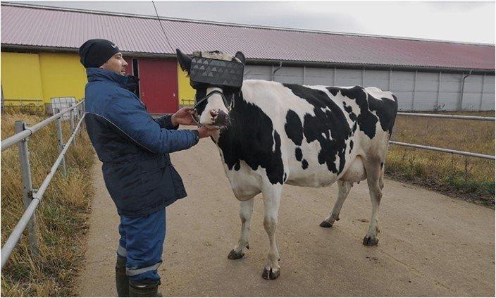 vacas realidade virtual
