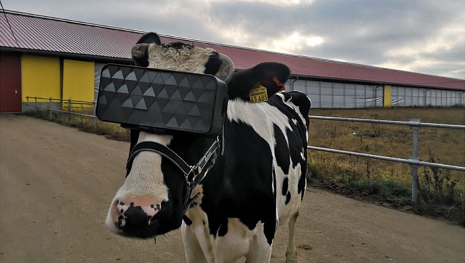 vacas realidade virtual russia